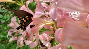 Belladonna and Butterfly